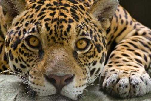 is personal interaction becoming extinct due The amur leopard is one of the world's most endangered cats with an estimated remaining wild population of 30-40 in russia and china.
