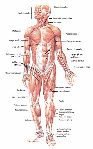 9d46e162-9e87-4a47-9e33-e77ed1d18f25, Muscles