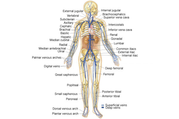 Circulation Veins Arteriespptx On Emaze
