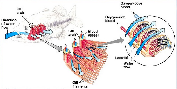 Respiratory system on emaze it is the main respiratory organ of the fish these organs located on the sides of the head are made up of gill filaments feathery structures that ccuart Choice Image