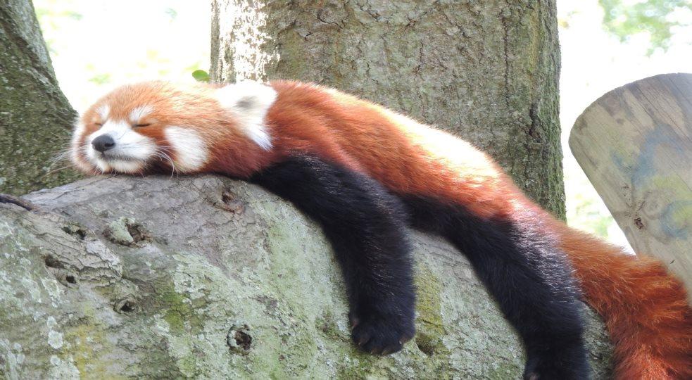 Image of: Habitat Emaze Endangered Red Panda