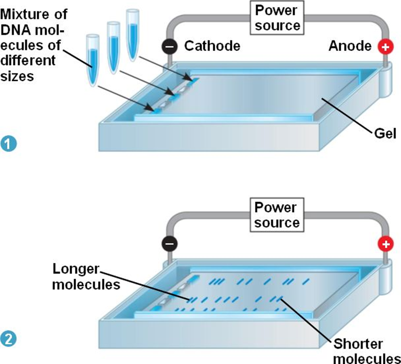 how does gel electrophoresis work