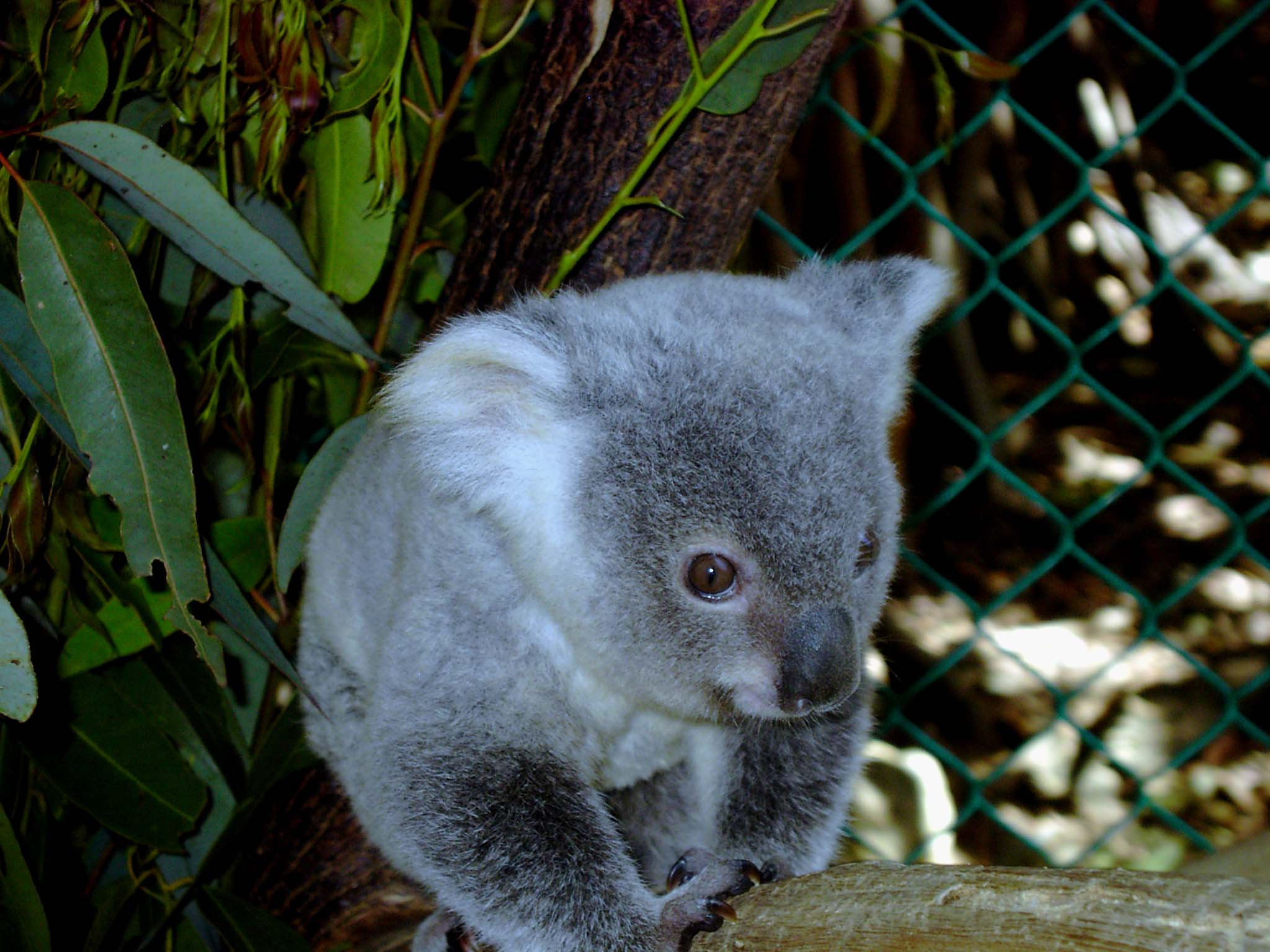The Effects Wildfires have on Koalas in Australia on emaze