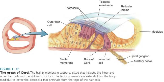 Tectorial Membrane Ear | www.pixshark.com - Images ...