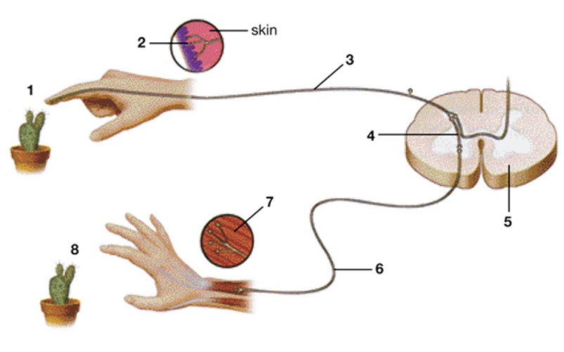 Reflekso lanko schema