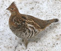 the state bird of pennsylvania is the ruffled grouse