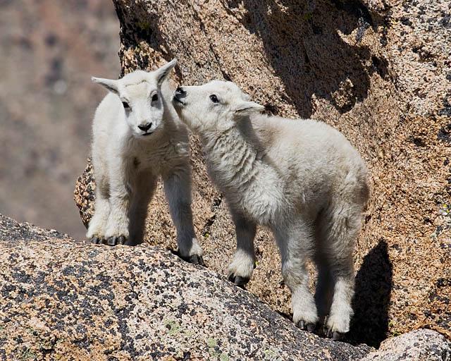 what do mountain goats eat