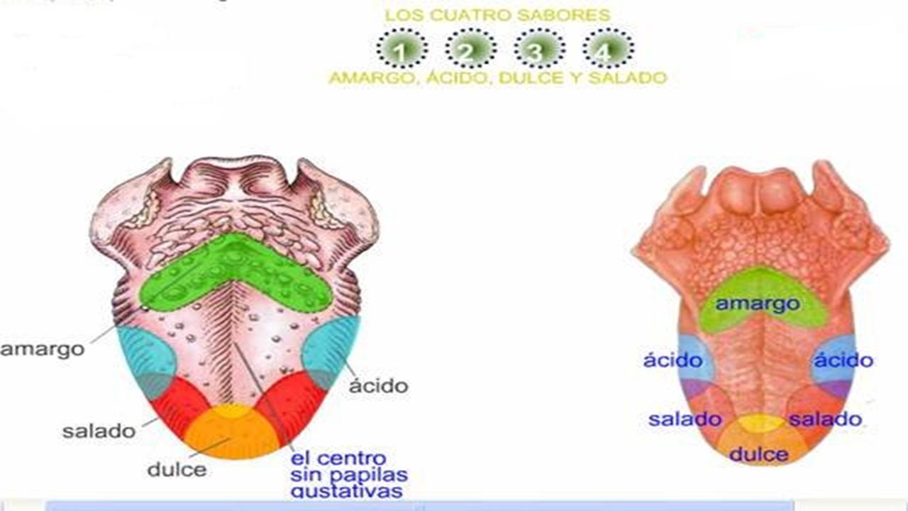 Fantástico Papilas Gustativas Lengua Imágenes - Anatomía de Las ...