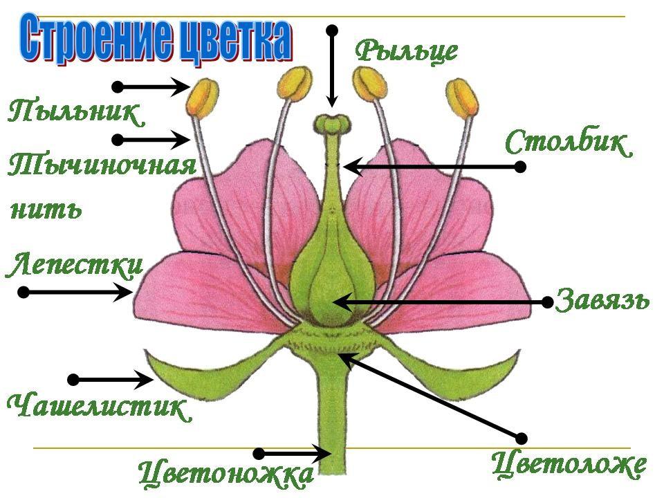 Биология 6 класс цветок строение