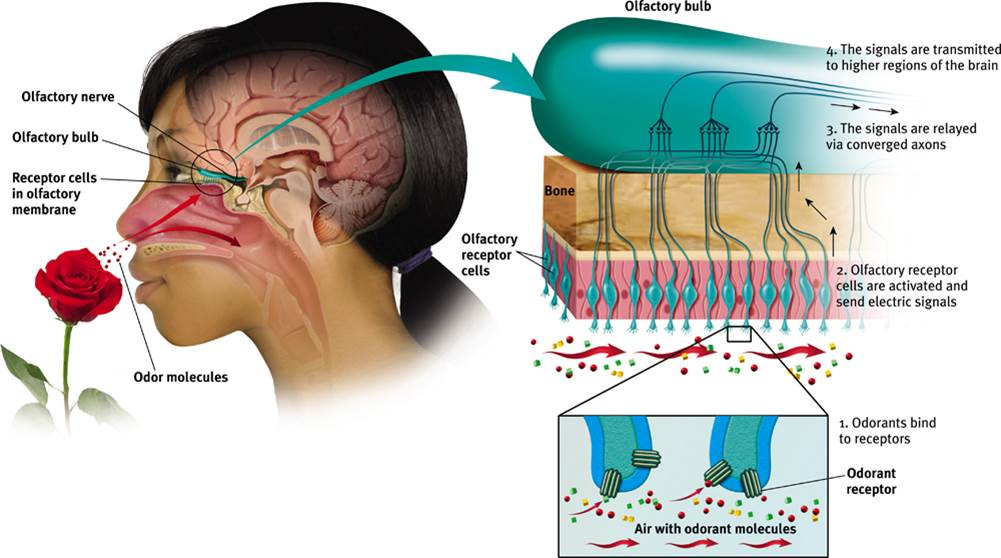 kinesthesis is the sensation of General considerations of sensation basic features of sensory structures one way to classify sensory structures is by the stimuli to which they normally respond thus, there are photoreceptors (for light), mechanoreceptors (for distortion or bending), thermoreceptors (for heat), chemoreceptors (eg, for chemical odours), and.