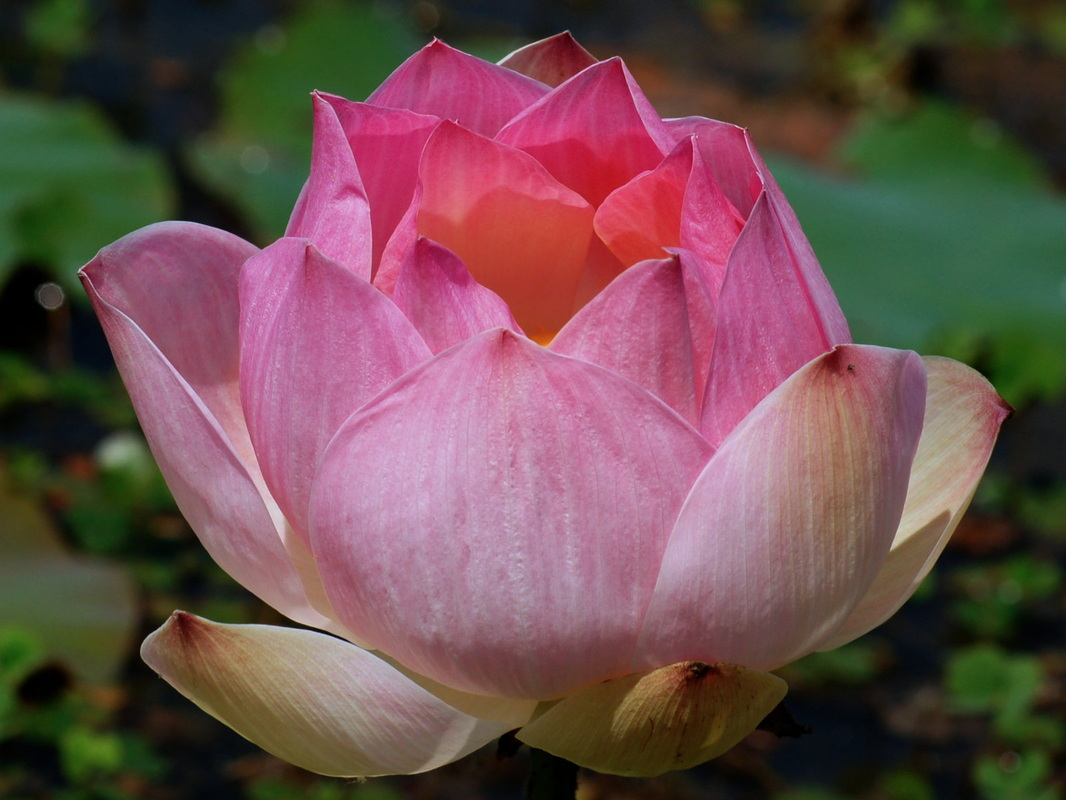 Essay On National Flower Lotus In Hindi Language Up Graduation Speech