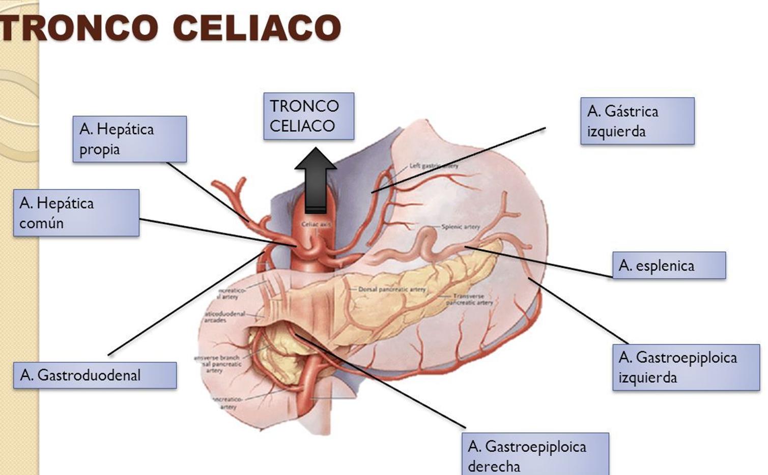 Dorable Anatomía Vascular Hepática Regalo - Imágenes de Anatomía ...