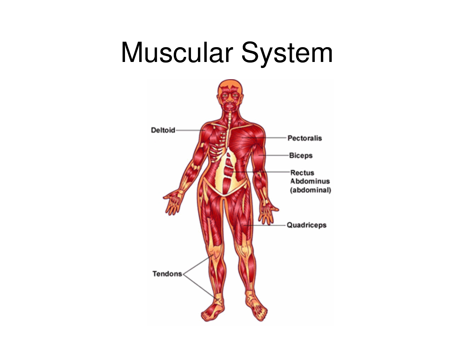 muscular system on emaze, Muscles