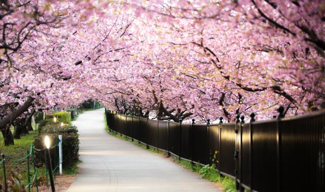 Sakura Sakura Japanese Folk Song