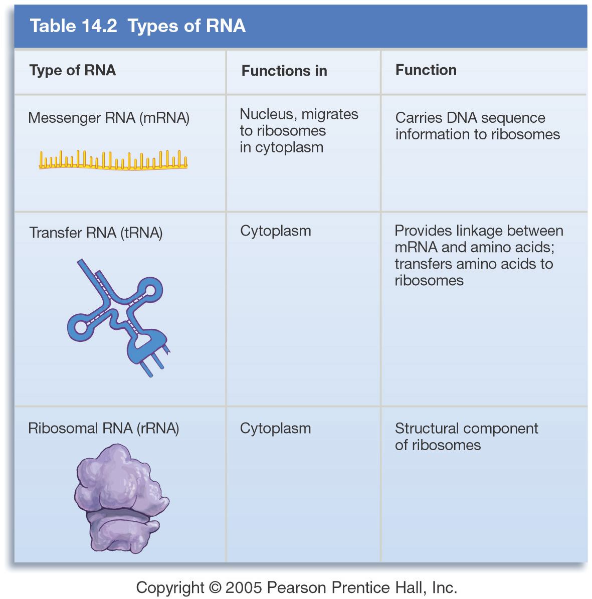 2 steps of protein synthesis There are two steps to making proteins from dna the first step is called transcription this is where you go from the dna to and mrna strand.