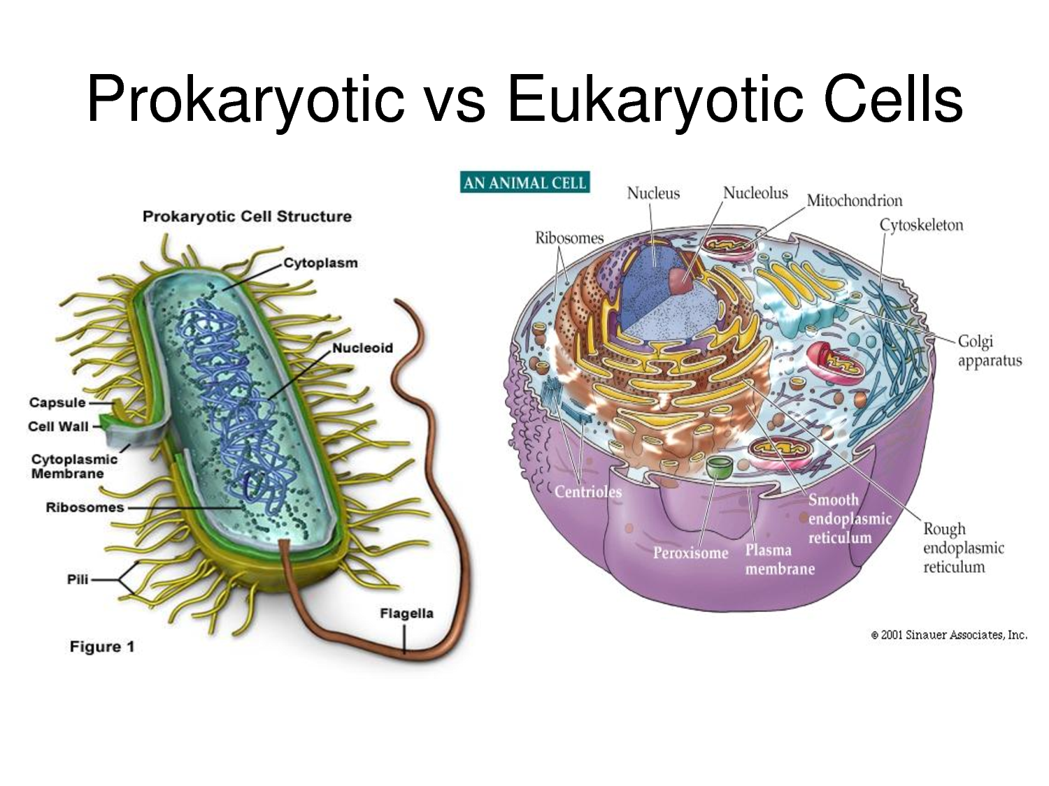 Diagram Of Nucleoid Not Lossing Wiring A Eukaryotic Cell Studying The Pptx On Emaze