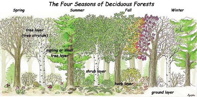 Temperate Deciduous Forest on emaze