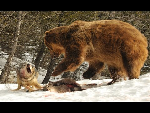 deer lake cougars dating site Idaho hunter's decoy deer baffles hungry mountain lion the cougar quietly sneaks up on the faux deer and dating back to 1907, today's upi is a.