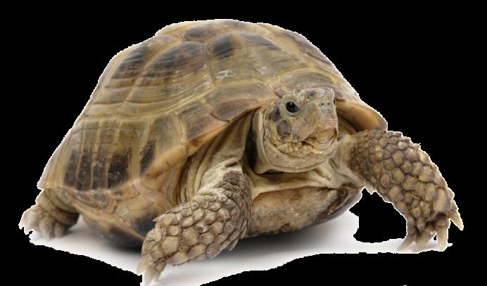 Αποτέλεσμα εικόνας για χελώνα ξηράς