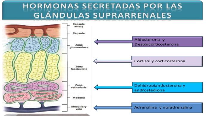 Glandula Suprarrenales Y Sus Hormonas - Best Hawaiian Deals