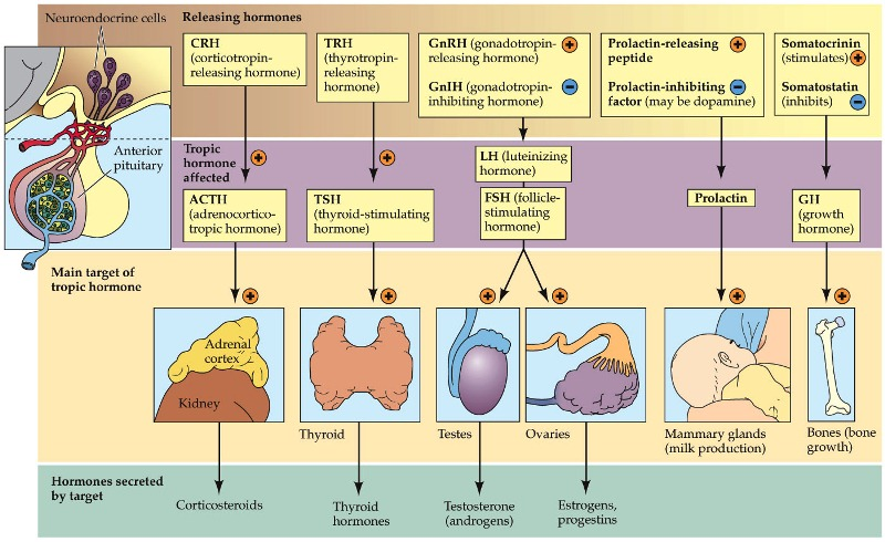 thyroid pituitary relationship diagram six