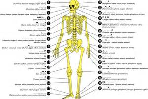 how much bones does a human have