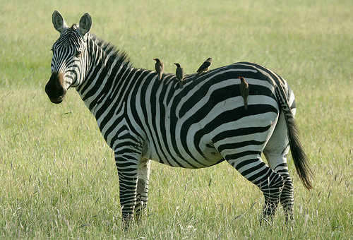 oxpeckers and zebras relationship advice