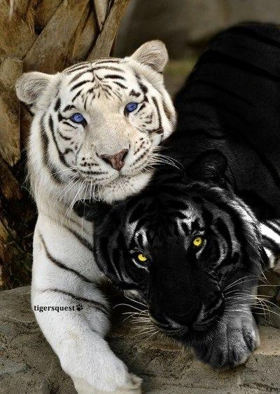 Y Tigers Are Endangered AS Bio: Endangered Ani...