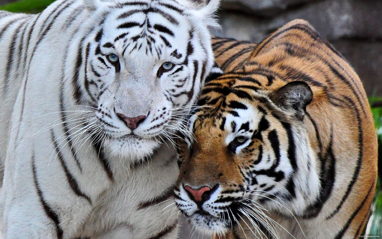 are white tigers endangered