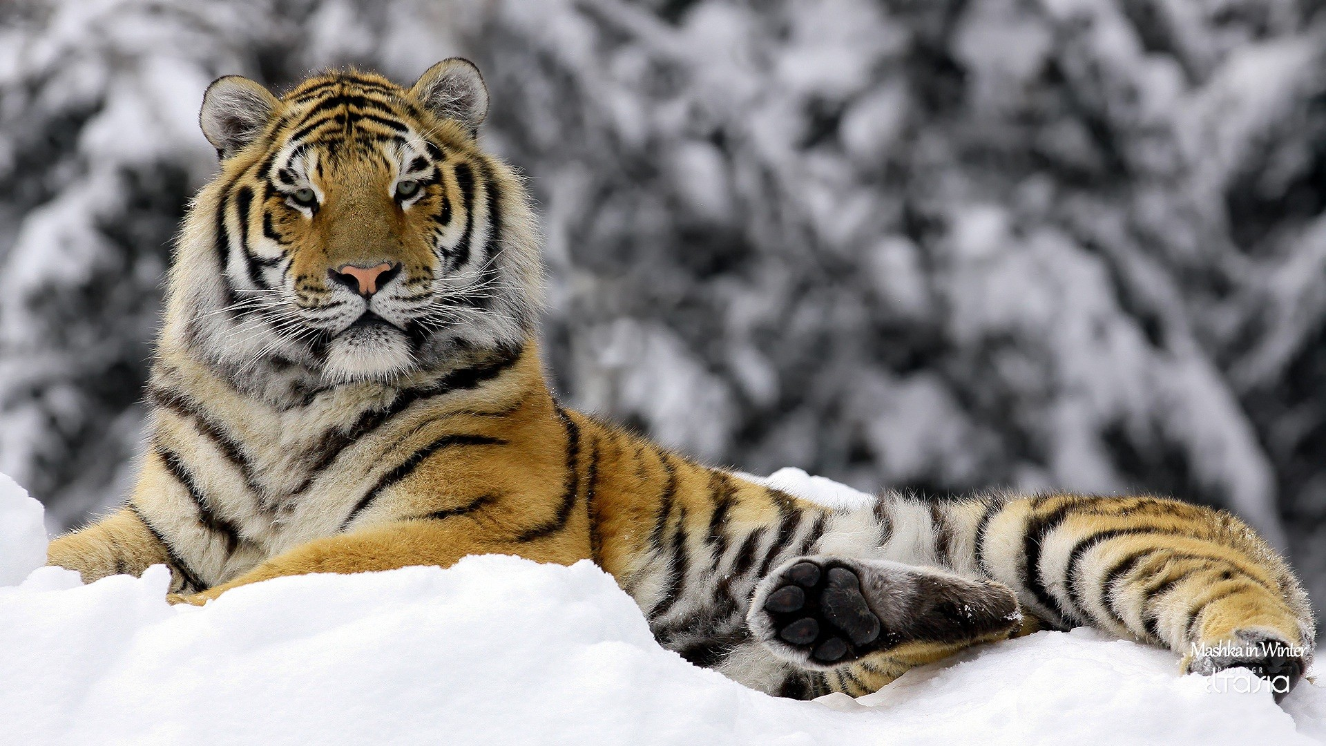 endangered tigers Enjoy these fun tiger facts for kids learn about different types of tigers, how big they are, how fast they run, how they hunt and more check out the wide range of interesting facts about tigers and their cubs the tiger is the biggest species of the cat family tigers can reach a length of up to.