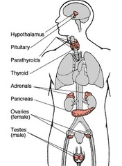 The endocrine system diagram ccuart Image collections