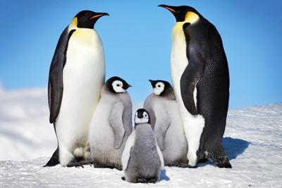Emperor Penguins on emaze