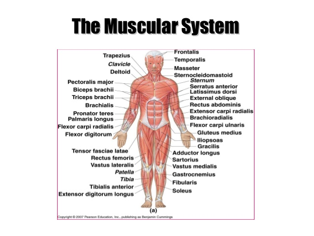 muscular system definition – citybeauty, Human body