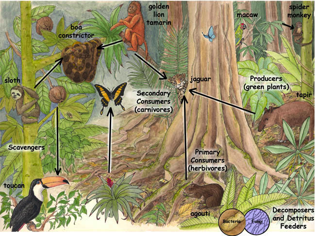amazon rainforest ecosystem An example of these in the amazon rainforest are the trees, shrubs, bromeliads and other plants 2 highest order consumers – these are the animals that are at the top of the food chain as they do not have any predators but do not necessarily eat the producers.
