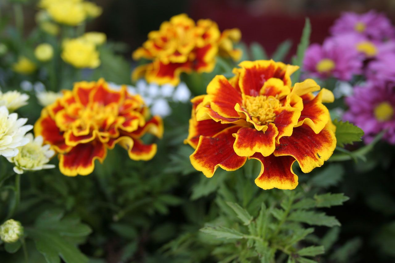 marigolds on emaze marigolds on emaze