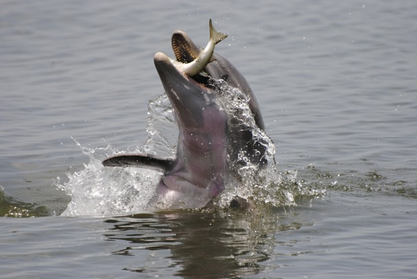 Striped dolphins eating fish