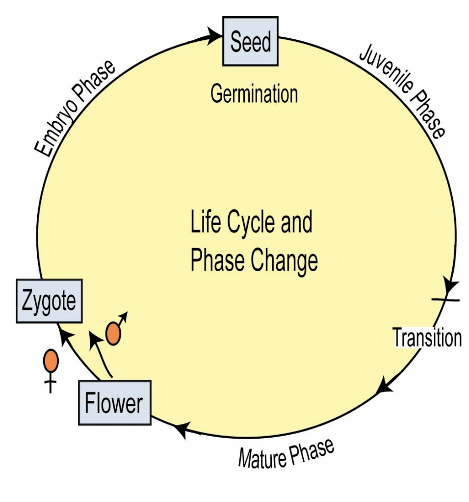 Types Of Seeds Structure And Germin Seed Germination Diagram Monocot Phase Change