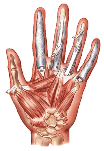 muscular system 2 on emaze, Muscles