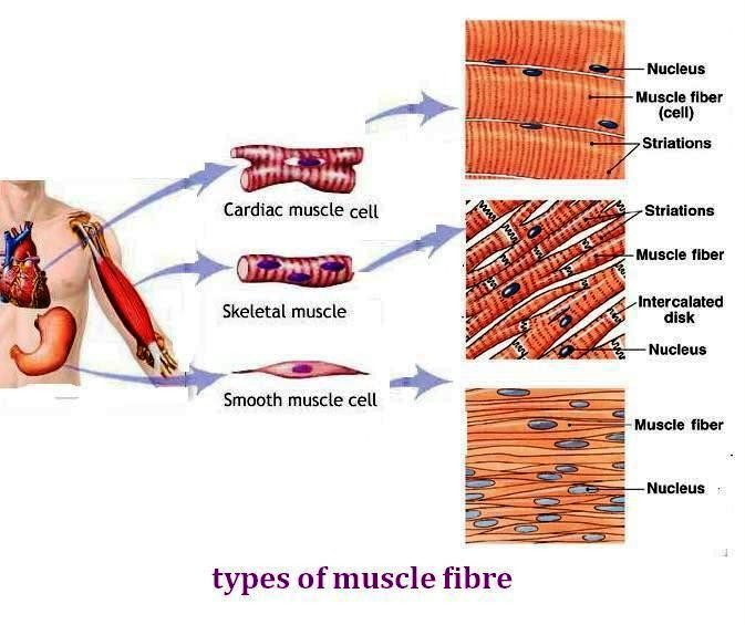 3 human muscle types – tikuzan, Muscles