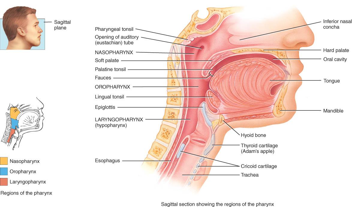 Charmant Laryngopharynx Galerie - Menschliche Anatomie Bilder ...