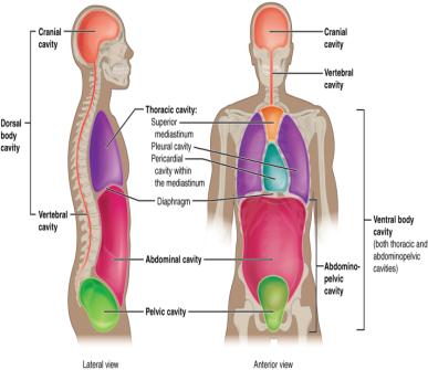 Anatomy body cavities