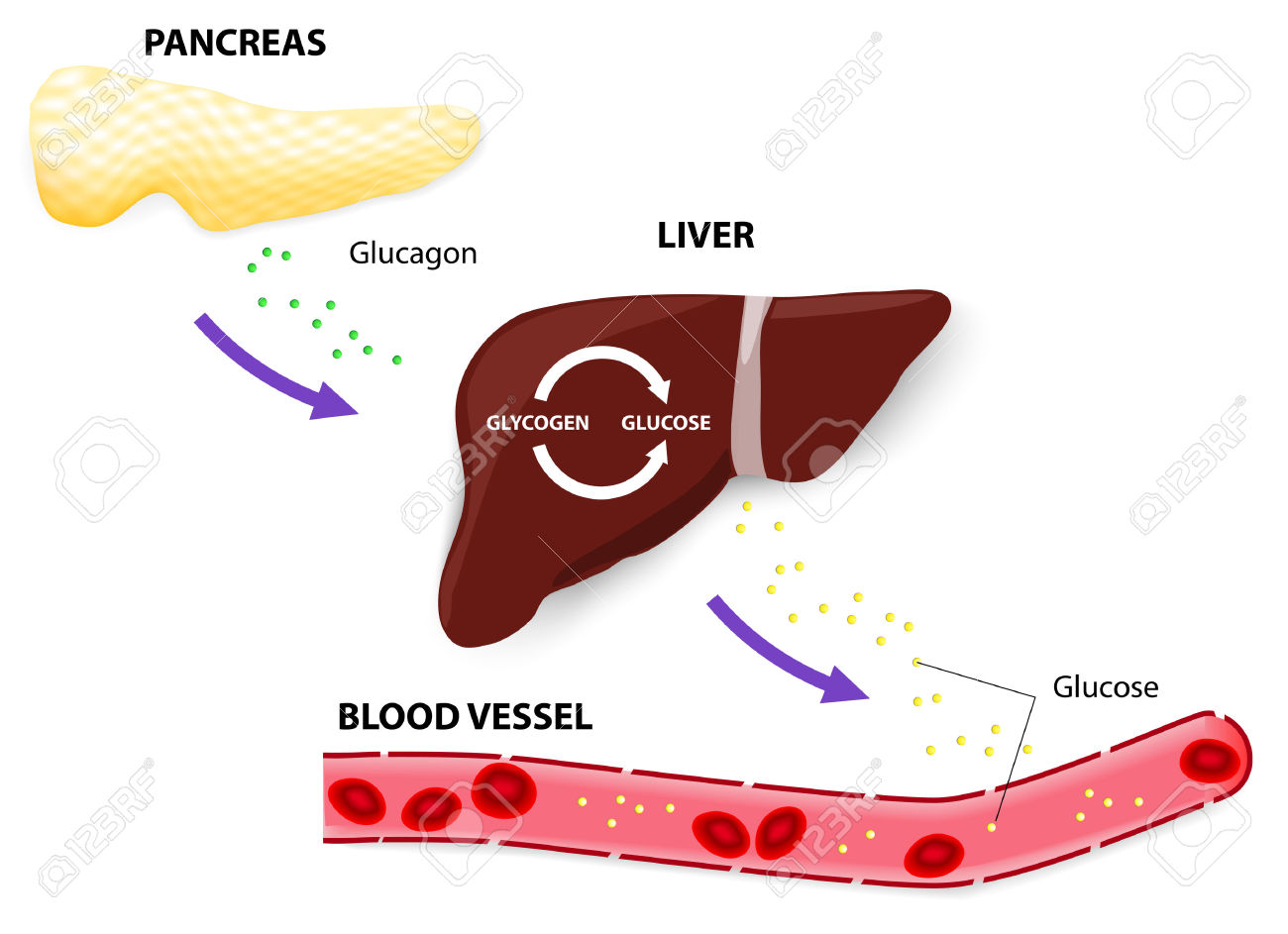 Endocrine further Endoov additionally Blood Sugar Flowchart in addition 18 3 Regulation Of Body Processes also Negative Feedback And Blood Glucose. on endocrine blood sugar