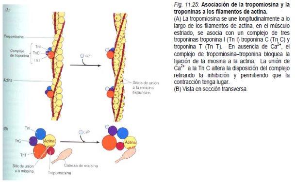 TIPOS DE MIOSINA PDF DOWNLOAD