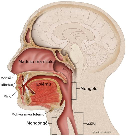 Diagram Of Mouth And Saliva Trusted Wiring Diagram