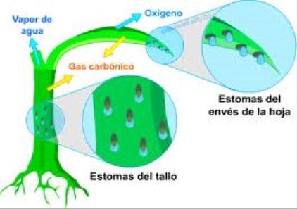 Resultado de imagen para estomas hojas transpiracion