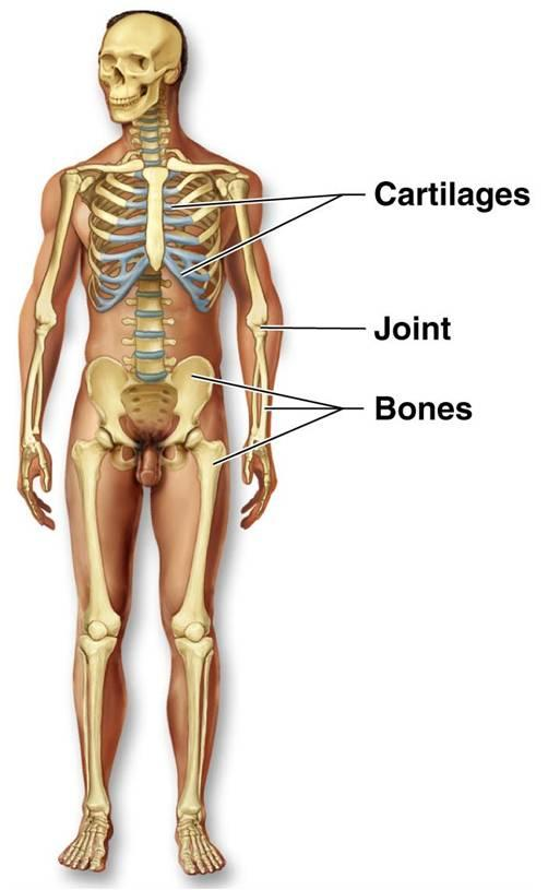 The Skeletal System By On Emaze