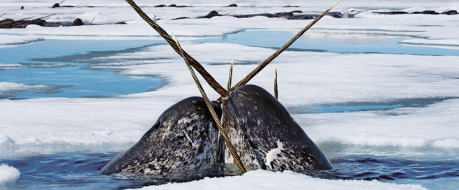 How Do Narwhals Get Their Food