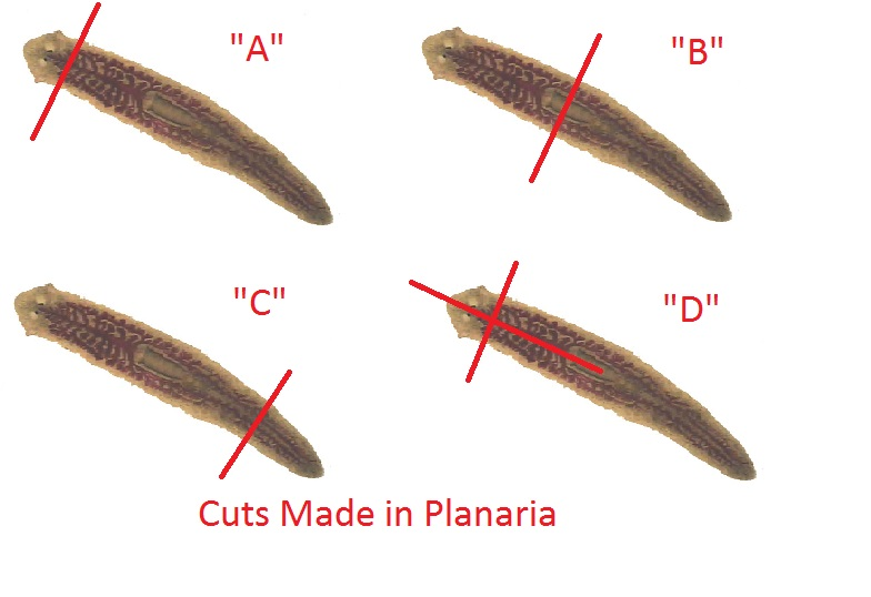 detailed analysis of planaria Detailed molecular phylogenetic analysis using housekeeping  the planarian cns is composed of a brain in the head region and a pair of.