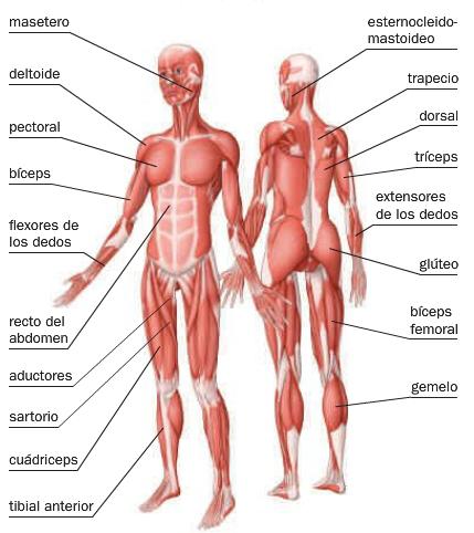 Sabias que el sistema muscular esta compuesto por 650 musculos ...