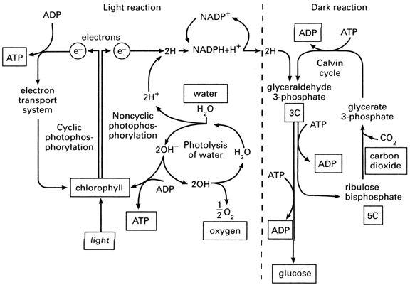 Printables Photosynthesis Diagram Worksheet Answers Joomsimple – Photosynthesis and Cellular Respiration Worksheet Answers